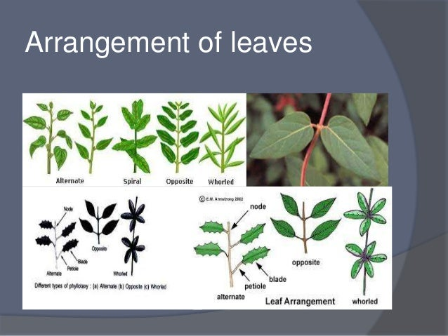 Classification of leaf on different basis whorl many leaves arise from the node at the same time 44 sciox Gallery