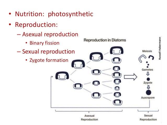 Diatom reproduction asexual