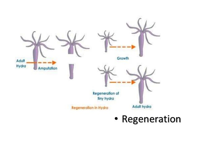 Asexual reproduction in coelenterates