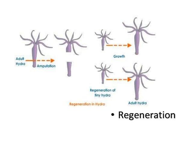Coelenterates asexual reproduction worksheet