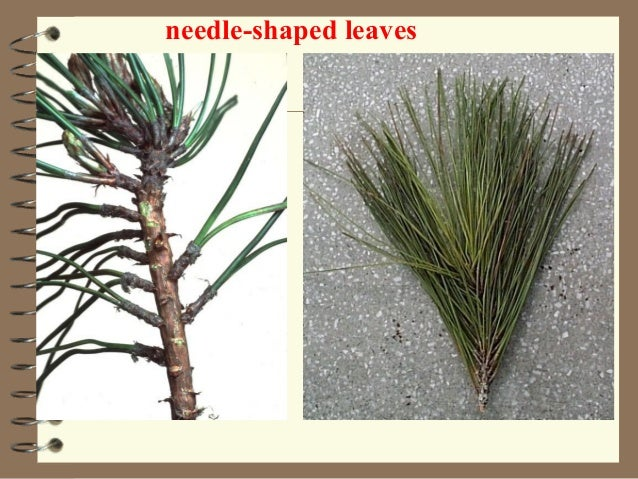 2 groups2 groups MonocotyledonsMonocotyledons DicotyledonsDicotyledons Flowering Plants roots, stems, leaves vascular tiss...