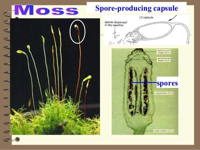 spores Spore-producing capsule