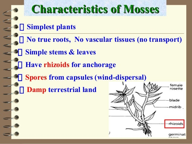 No true roots, No vascular tissues (no transport) Characteristics of MossesCharacteristics of Mosses Simple stems & leaves...