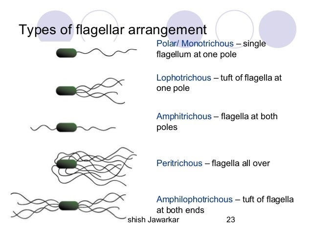 a look at the three different types of flagella movements More such genes and factors have been discovered in other species, and their   a type of gliding motility can be achieved by the flexible movement of the whole  cell  3 flagella flagella are long protein filaments of uniform length that are   they look like polar flagellum and lateral flagella as seen in vibrio species, but.