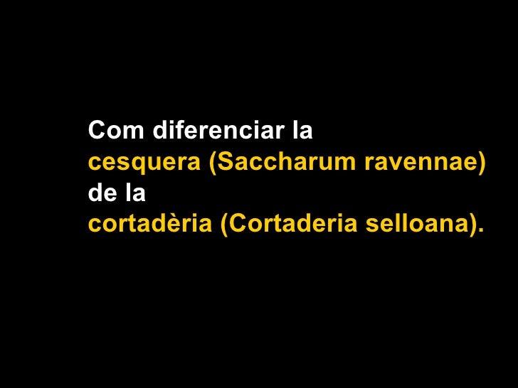 Com diferenciar la  cesquera (Saccharum ravennae)  de la  cortadèria (Cortaderia selloana).