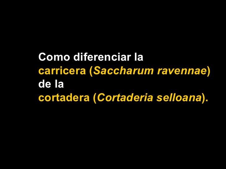 Como diferenciar la  carricera ( Saccharum ravennae )  de la  cortadera ( Cortaderia selloana ).