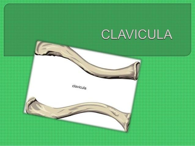  Es un hueso de forma alargada, contiene una sustancia cortical muy gruesa, con abundante tejido esponjoso en sus extremi...