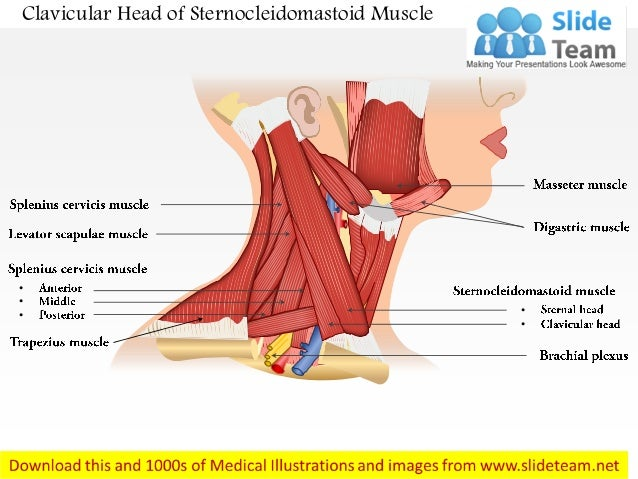 clavicular head of sternocleidomastoid muscle medical images for powe…, Human Body