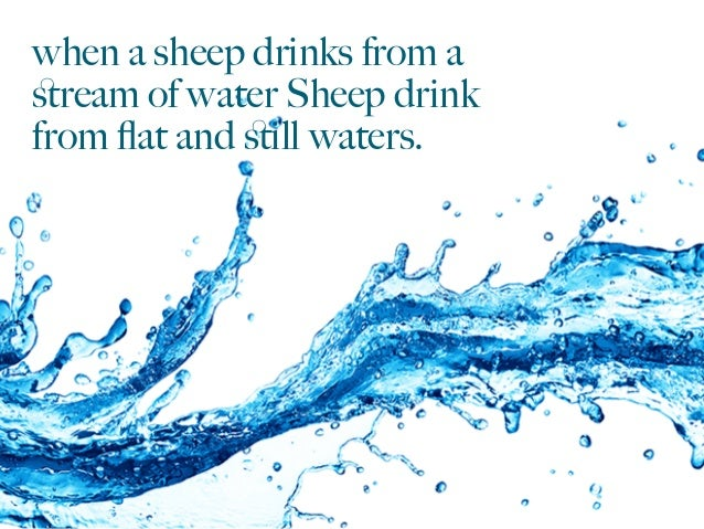 when a sheep drinks from a stream of water Sheep drink from flat and still waters.