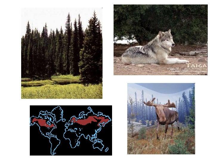 FLORESTA TEMPERADA• Floresta decídua caducifólia• Hemisfério Norte   Obs. Sul → Floresta indecídua• Quatro estações bem de...