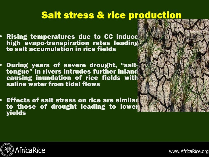 impact of salinity on rice production Factors affecting rice production in northeastern thailand: the relationship between soil salinity and  salinity has a harmful impact on soils and crop production.