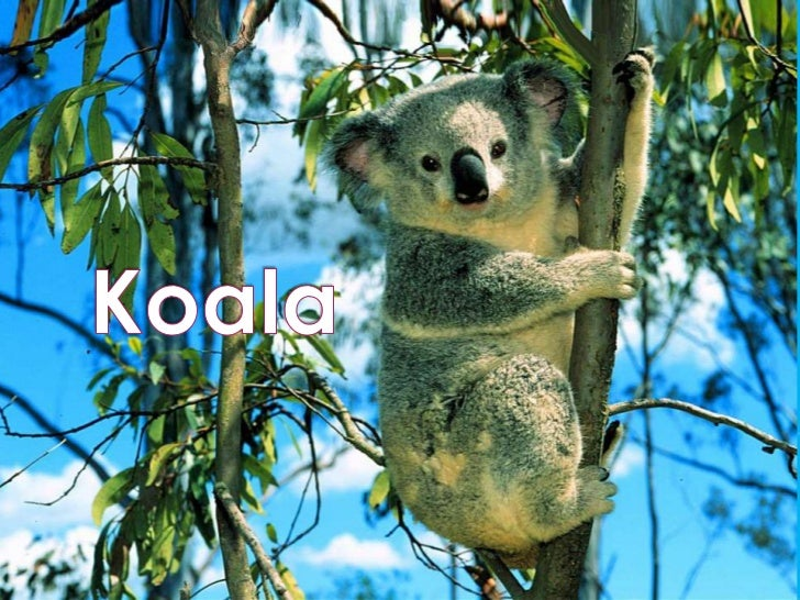 climate adaptation project koala koala<br