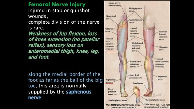 clinical anatomy of the lower limb, Muscles