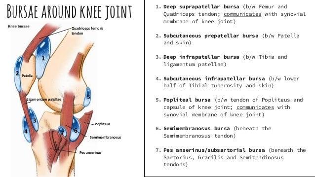 Clinical anatomy of leg importantbursae andbursitis 8 ccuart Gallery