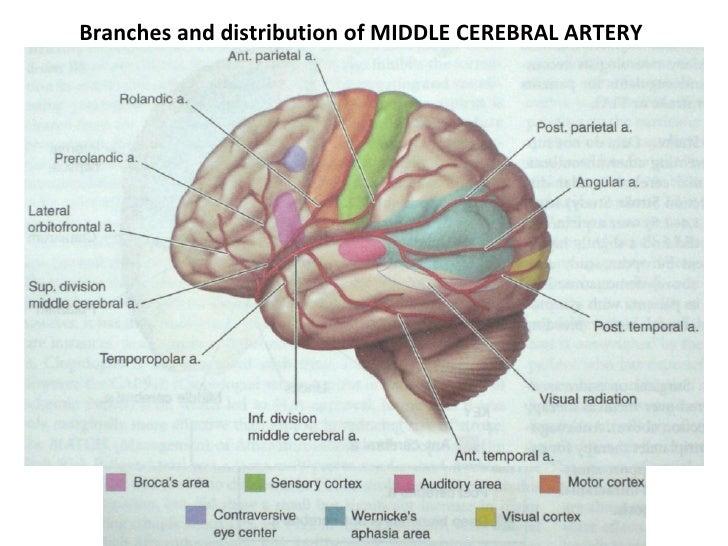 Clinical Anatomy Circle Of Willis Cavernous Sinus
