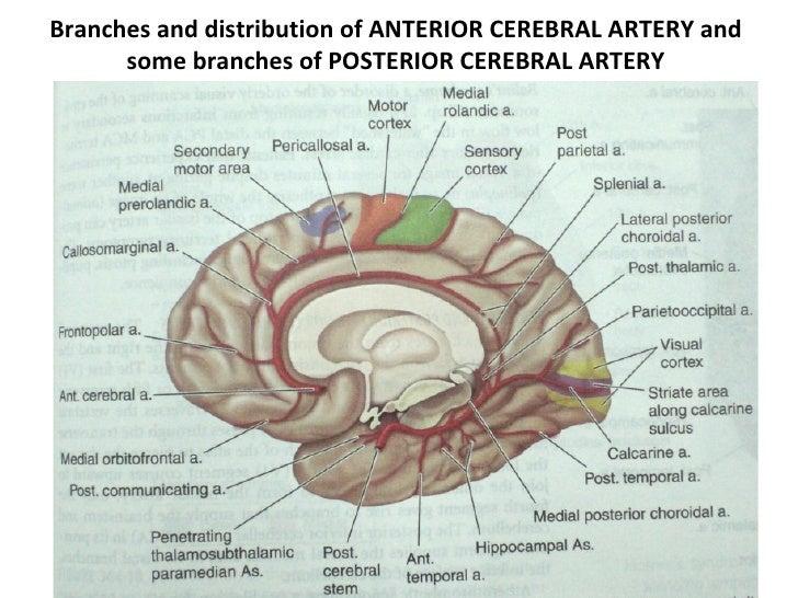 Clinical Anatomy Circle Of Willis & Cavernous Sinus