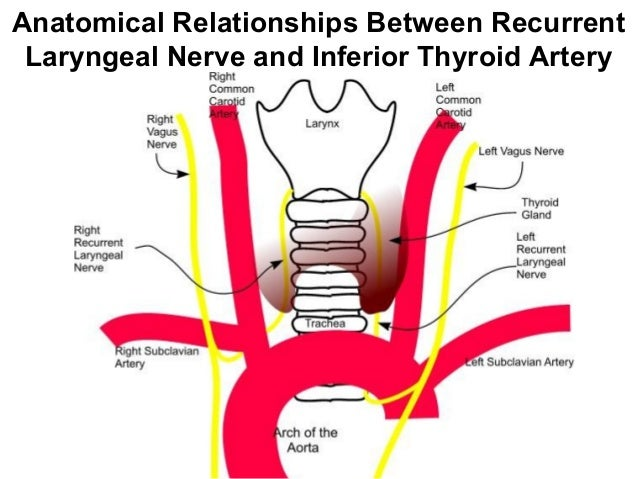Clinical Anatomy Of Thyroid Gland
