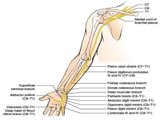 ulnar nerve - photo #8