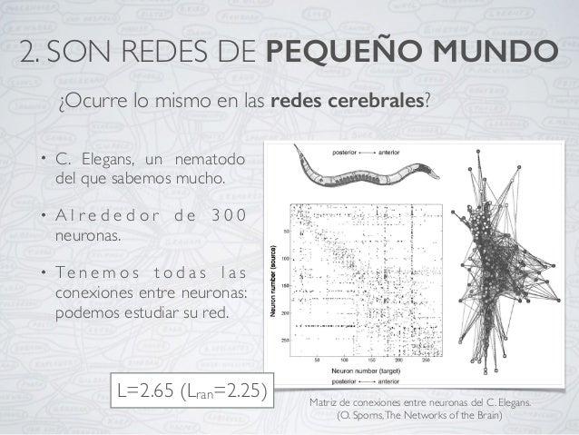 ¿Ocurre lo mismo en las redes cerebrales? Matriz de conexiones entre neuronas del C. Elegans. (O. Sporns,The Networks of t...