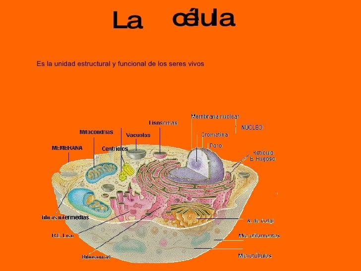 célula La  Es la unidad estructural y funcional de los seres vivos
