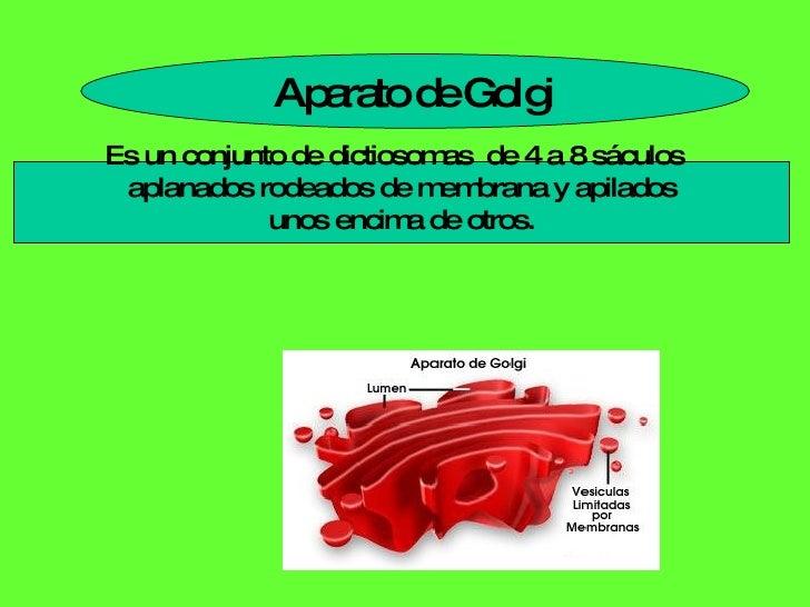Aparato de Golgi Es un conjunto de dictiosomas  de 4 a 8 sáculos  aplanados rodeados de membrana y apilados unos encima de...