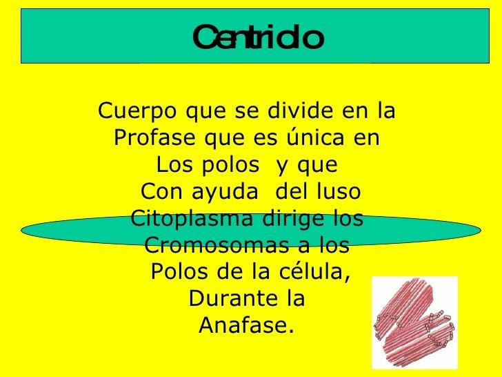 Centriolo Cuerpo que se divide en la  Profase que es única en  Los polos  y que  Con ayuda  del luso Citoplasma dirige los...