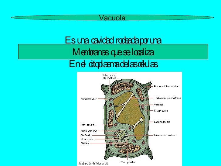 Vacuola Es  una  cavidad  rodeada por una  Membranas  que  se  localiza  En el  citoplasma de las células.