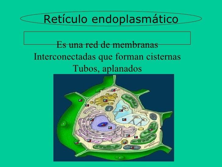 Retículo endoplasmático Es una red de membranas Interconectadas que forman cisternas Tubos, aplanados Y saculos comunicados.
