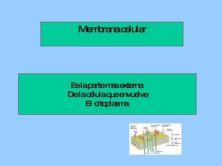 Membrana celular Es la parte mas externa  De la célula que envuelve El citoplasma.