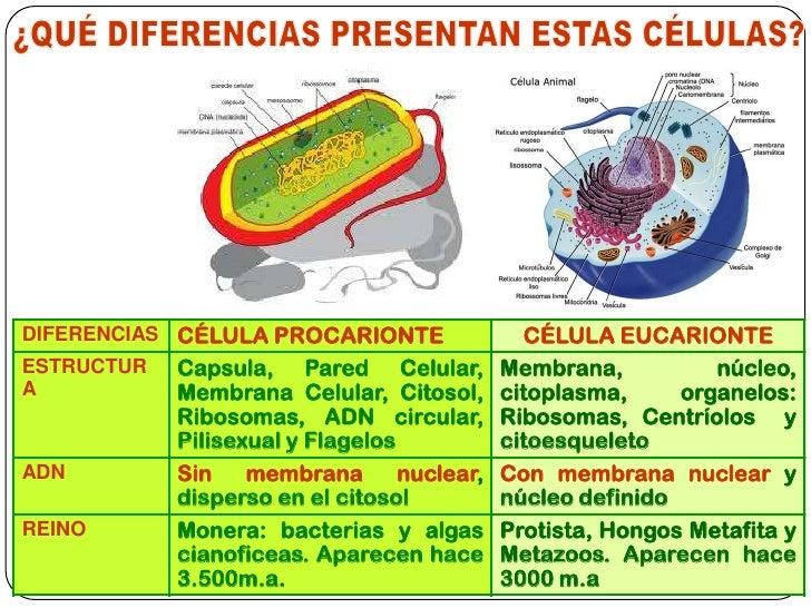 C lula eucariota 2012 i medio for Pared y membrana celular