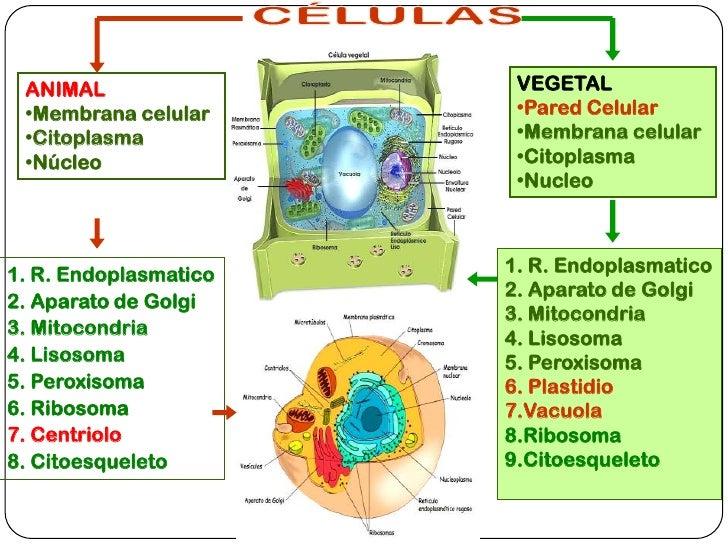 Imagenes De La Celula Animal Y Vegetal Y Sus Partes Para Colorear