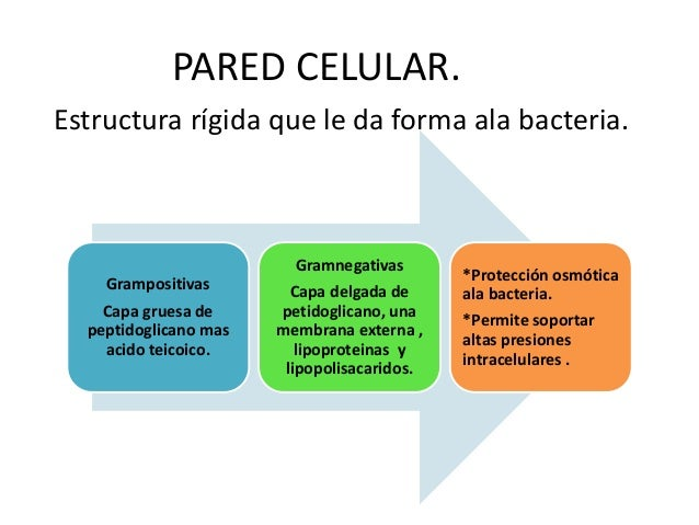 PARED CELULAR. Estructura rígida que le da forma ala bacteria. Grampositivas Capa gruesa de peptidoglicano mas acido teico...