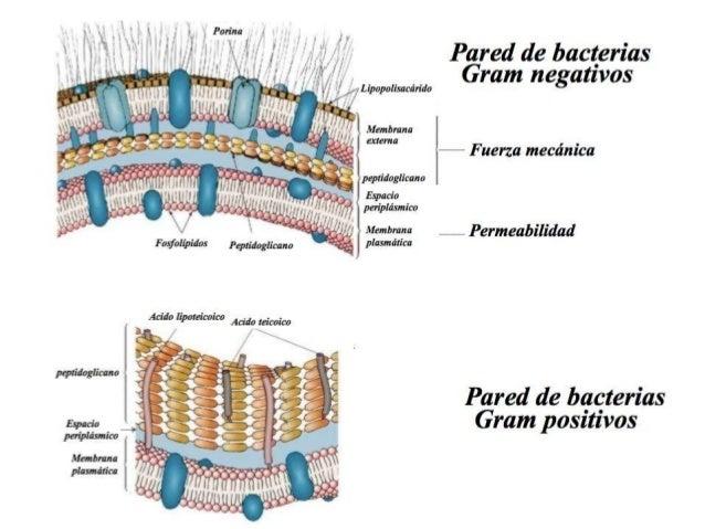 MEMBRANA PLASMATICA. Permeabilidad selectiva y transporte de solutos Alberga los receptores de membrana y las proteinas de...