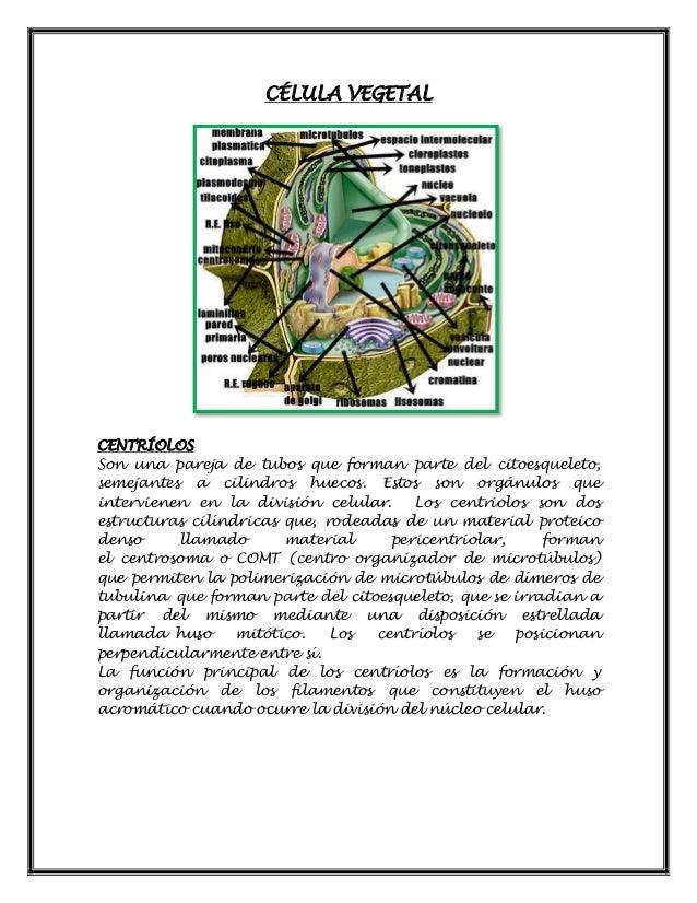CÉLULA VEGETAL CENTRÍOLOS Son una pareja de tubos que forman parte del citoesqueleto, semejantes a cilindros huecos. Estos...