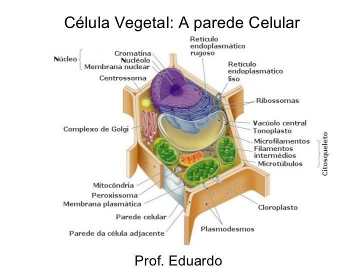 Célula Vegetal: A parede Celular Prof. Eduardo