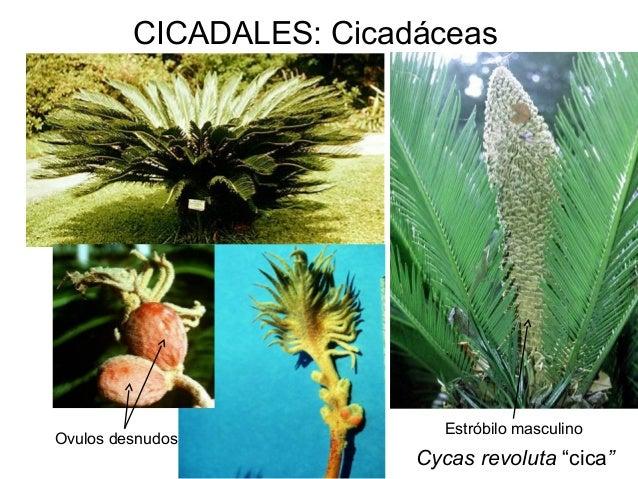 Cluster 41249237 for Planta ornamental zamia