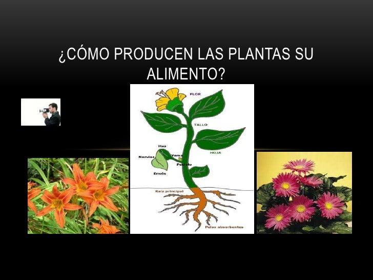 ¿CÓMO PRODUCEN LAS PLANTAS SU         ALIMENTO?