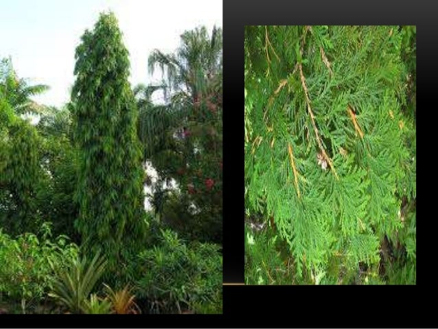 SHRUBS AND SHRUBBERY • Shrubs play a major role in landscape. Shrubs are much branched woody perennials & has several bran...