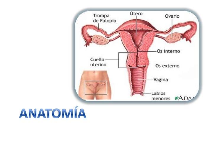 Bonito La Anatomía Del Cuello Uterino Friso - Anatomía de Las ...
