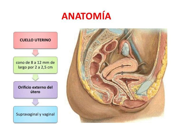 Bonito La Anatomía Del Cuello Uterino Embellecimiento - Anatomía de ...