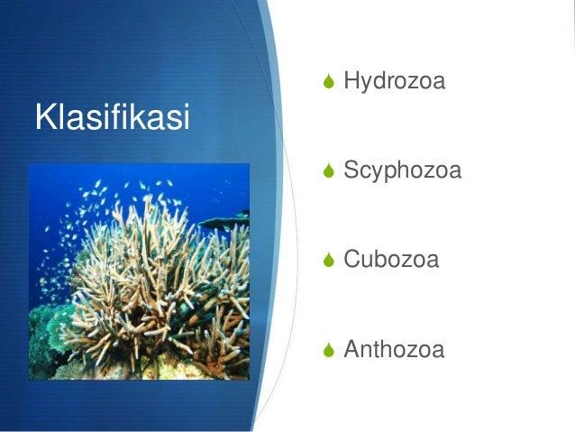 BIOLOGI SMA KELAS 10 ANIMALIA Cnidaria