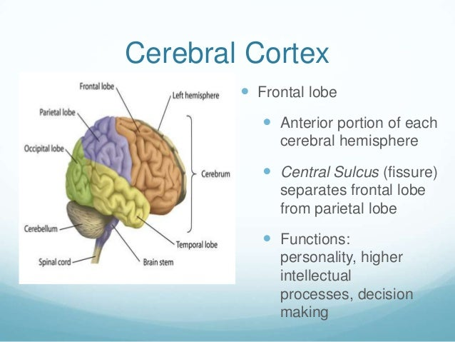 Cerebral Cortex         Frontal lobe            Anterior portion of each             cerebral hemisphere            Cen...