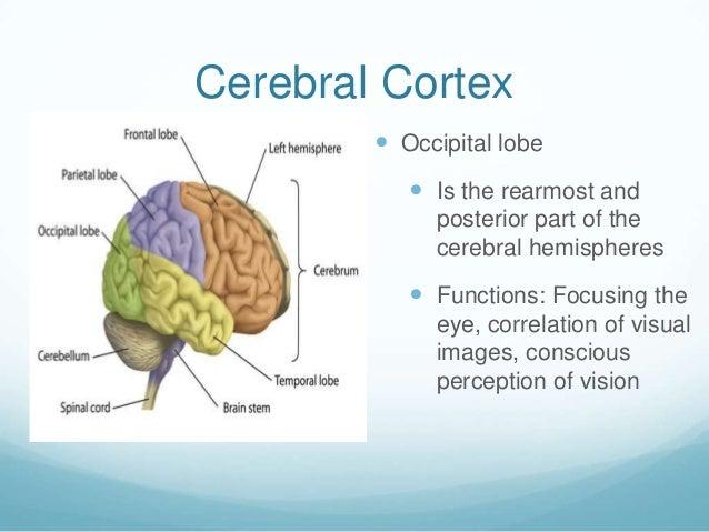 Cerebral Cortex         Occipital lobe            Is the rearmost and             posterior part of the             cere...