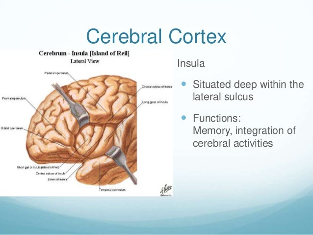 Cerebral Cortex         Insula            Situated deep within the             lateral sulcus            Functions:    ...