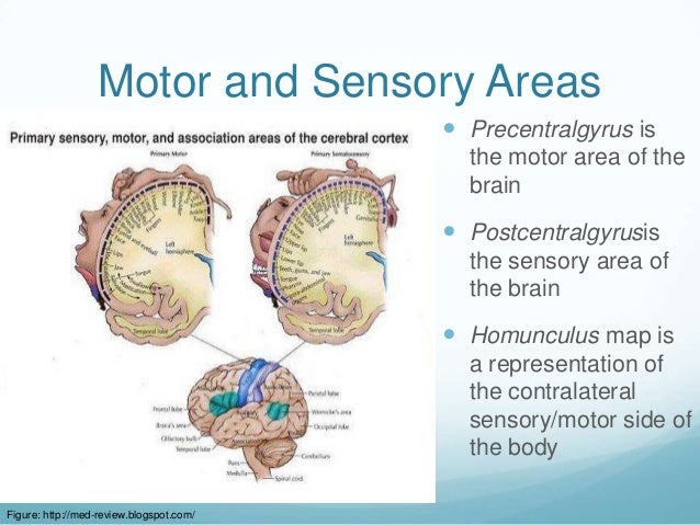 Motor and Sensory Areas                                           Precentralgyrus is                                     ...