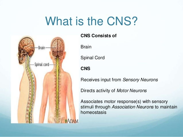 What is the CNS?      CNS Consists of      Brain      Spinal Cord      CNS      Receives input from Sensory Neurons      D...