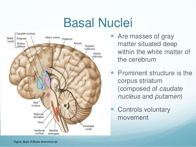 Basal Nuclei                                               Are masses of gray                                            ...