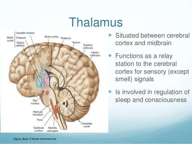 Thalamus                                            Situated between cerebral                                            ...