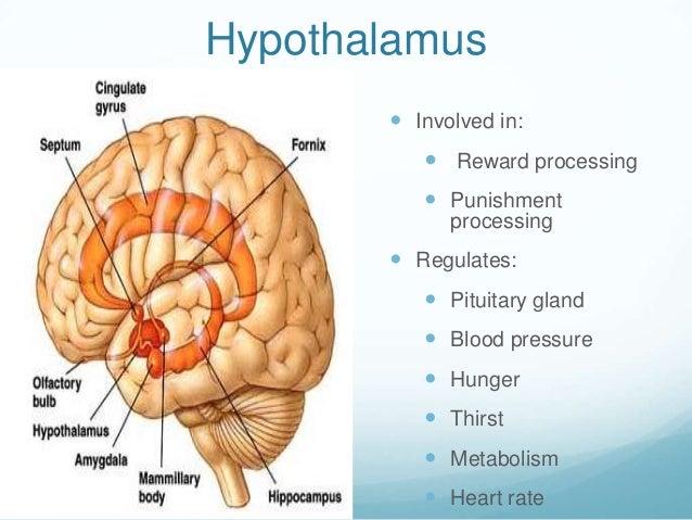Hypothalamus        Involved in:           Reward processing           Punishment             processing        Regula...