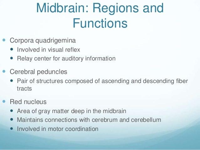 Midbrain: Regions and                   Functions Corpora quadrigemina   Involved in visual reflex   Relay center for a...